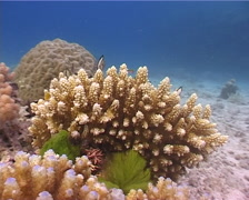 Reticulated damsel feeding and schooling on shallow coral reef, Dascyllus - stock footage