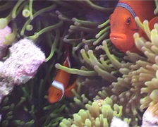 Spine-cheek Anemonefish, Premnas biaculeatus, UP4388 Stock Footage