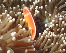 Pink anemonefish swimming, Amphiprion perideraion, UP4357 Stock Footage