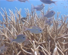 Gold-lined sea bream swimming and schooling, Gnathodentex aureolineatus, UP4462 Stock Footage