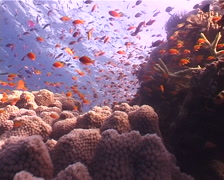 Scalefin anthias swimming and schooling, Pseudanthias squamipinnis, UP4489 Stock Footage