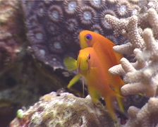 Scalefin anthias hovering, Pseudanthias squamipinnis, UP4495 Stock Footage