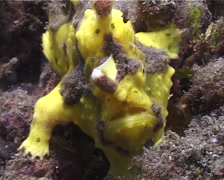 Warty frogfish on muck, Antennarius maculatus, UP4574 Stock Footage