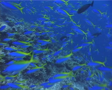 Blue and gold fusilier hovering and schooling on shallow coral reef, Caesio Stock Footage