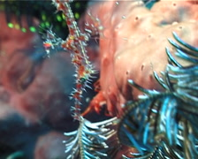 Ornate ghost pipefish hovering, Solenostomus paradoxus, UP4606 Stock Footage
