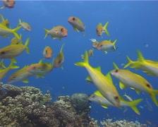 Yellowfin goatfish swimming and schooling, Mulloidichthys vanicolensis, UP4634 Stock Footage
