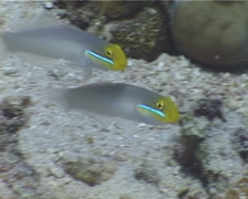 Blueband goby swimming on sand, Valenciennea strigata, UP4655 Stock Footage