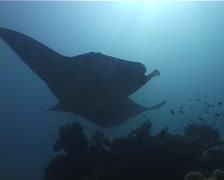 Reef manta ray swimming, Manta alfredi, UP5006 Stock Footage