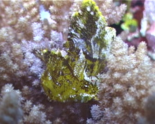 Leaf scorpionfish, Taenianotus triacanthus, UP5071 Stock Footage