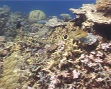 Epaulette shark swimming, Hemiscyllium ocellatum, UP5115 Stock Footage