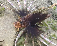 Common lionfish feeding, Pterois volitans, UP5042 Stock Footage