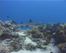 Whitetip reef shark swimming, Triaenodon obesus, UP5145 - stock footage