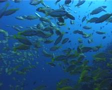 Bigeye snapper swimming and schooling, Lutjanus lutjanus, UP5160 Stock Footage