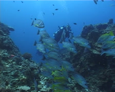 Moses perch schooling and schooling on deep coral reef, Lutjanus russellii, Stock Footage