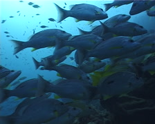 Moses perch schooling and schooling, Lutjanus russellii, UP5184 Stock Footage