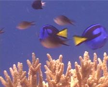 Palette surgeonfish swimming, Paracanthurus hepatus, UP5263 Stock Footage