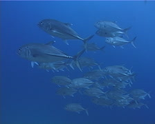 Bigeye trevally swimming and schooling in bluewater, Caranx sexfasciatus, UP5318 - stock footage