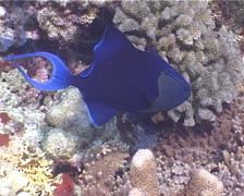 Red tooth triggerfish hovering, Odonus niger, UP5382 Stock Footage