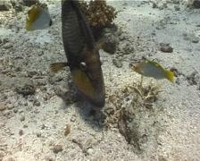 Titan triggerfish feeding, Balistoides viridescens, UP5393 Stock Footage