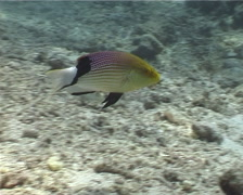Blackfin hogfish swimming, Bodianus loxozonus, UP5455 Stock Footage