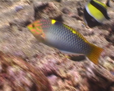 Checkerboard wrasse swimming, Halichoeres hortulanus, UP5458 Stock Footage