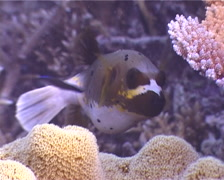 Black-spotted pufferfish cleaning and being cleaned, Arothron nigropunctatus, Stock Footage