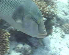 Humphead maori wrasse swimming, Cheilinus undulatus, UP5510 Stock Footage