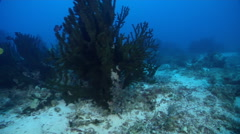 Green tubastrea feeding in lagoon entrance channel, Tubastrea micrantha, HD, Stock Footage