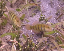 Sphinx goby hovering on seagrass meadow, Amblygobius sphynx, UP4681 Stock Footage