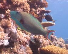 Bicolor parrotfish swimming, Cetoscarus bicolor, UP4827 Stock Footage