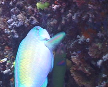 Male adult Bullethead parrotfish feeding, Chlorurus sordidus, UP4840 Stock Footage