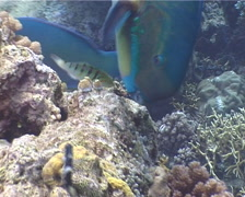 Steephead parrotfish feeding, Chlorurus microrhinos, UP4865 Stock Footage