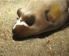 Black-spotted pufferfish sleeping at night, Arothron nigropunctatus, UP4945 Stock Footage