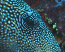 Blue-spotted pufferfish hovering, Arothron caeruleopunctatus, UP4950 Stock Footage