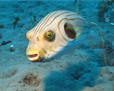 Striped pufferfish swimming on muck, Arothron manilensis, UP4966 Stock Footage