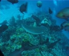 Grey reef shark feeding in fish feeding arena, Carcharhinus amblyrhynchos, - stock footage