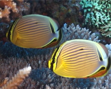 Redfin butterflyfish swimming, Chaetodon lunulatus, UP5817 Stock Footage