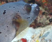 Black-spotted pufferfish hovering, Arothron nigropunctatus, UP5832 Stock Footage