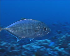 Barcheek trevally swimming on deep coral reef, Carangoides plagiotaenia, UP5840 Stock Footage