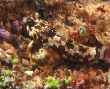 Marbled dragonet feeding, Synchiropus ocellatus, UP5869 Stock Footage