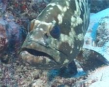 Camouflage grouper, Epinephelus polyphekadion, UP5896 Stock Footage