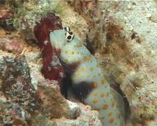 Spotted shrimpgoby, Amblyeleotris guttata, UP5941 Stock Footage
