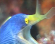 Blue ribbon eel gaping, Rhinomuraena quaesita, UP5947 Stock Footage