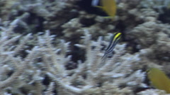 Striped fangblenny swimming in lagoon entrance channel, Meiacanthus grammistes, Stock Footage