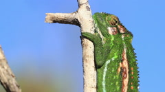 Cape dwarf chameleon clings tightly onto dry branch to hide from predators Stock Footage