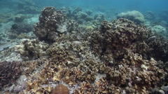 Ocean scenery silt adapted corals mostly Porites spp and Fungia spp. And Stock Footage