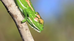 Cape dwarf chameleon walks down a dry branch mimicking the movement of a leaf  Stock Footage