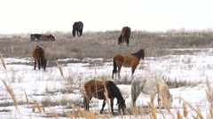 Horses Graze in Early Spring Among Snow Thawed Stock Footage