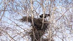 Black Rooks Birds Build Nests, Close up Sunny Day Stock Footage