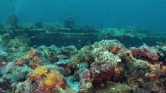 Coral demoiselle feeding on silty World War II wreck, Neopomacentrus nemurus, Stock Footage